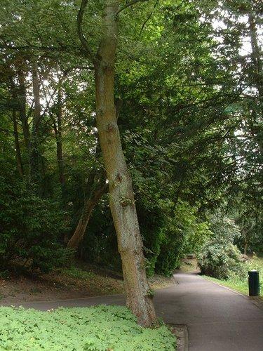Erable champêtre – Auderghem, Parc Tenreuken, Avenue du Grand Forestier –  19 Juillet 2002