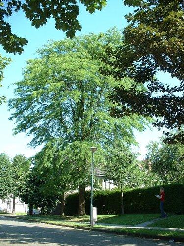 Févier d'Amérique – Evere, Quartier Tornooiveld, Avenue du Tornooiveld –  17 Juin 2002