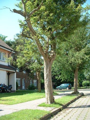 Aubépine de Lavallée – Evere, Quartier Tornooiveld, Avenue de l'Ecu –  17 Juin 2002