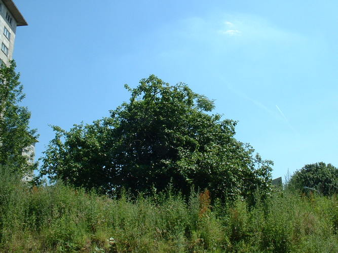 Pommier sauvage – Evere, Avenue Henry Dunant –  17 Juin 2002