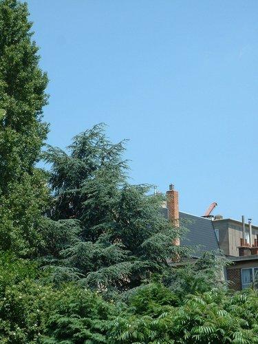 Cèdre bleu de l'Atlas – Evere, Avenue des Anciens Combattants, 71 –  17 Juin 2002
