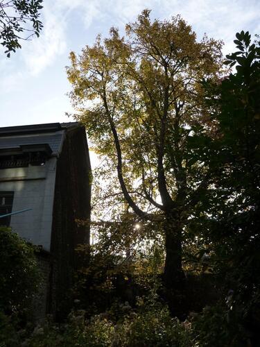 Tilleul argenté – Bruxelles, Avenue de Stalingrad, 62 –  24 Octobre 2012