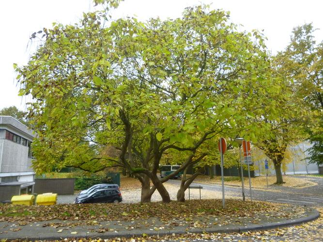 Catalpa à feuilles d'or – Evere, Avenue des Anciens Combattants, 250 –  28 Octobre 2016