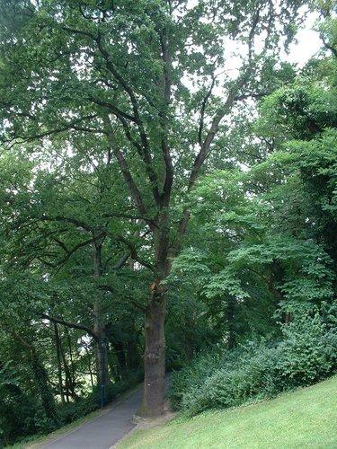 Zomereik – Oudergem, Tenreukenpark, Woudmeesterlaan –  19 Juli 2002
