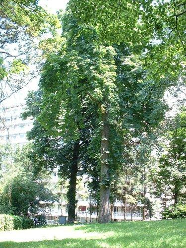 Marronnier commun – Woluwé-Saint-Lambert, Ancienne propriété Floralies, Rue des Floralies, 17 –  24 Juin 2002