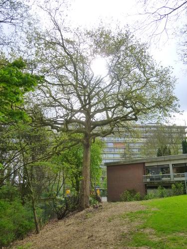 Platane d'Orient – Woluwé-Saint-Lambert, Ancienne propriété Floralies, Rue des Floralies, 17 –  13 Avril 2017