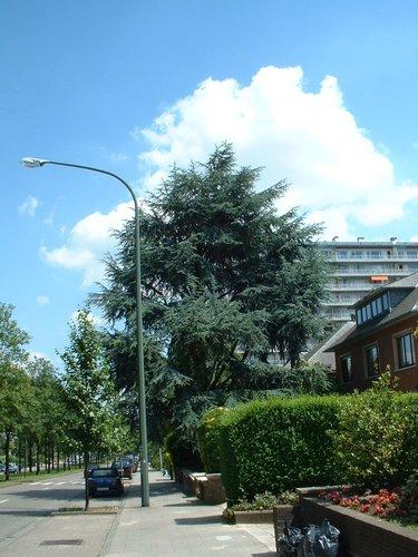 Cèdre bleu de l'Atlas – Woluwé-Saint-Lambert, Avenue Paul Hymans, 98 –  24 Juin 2002