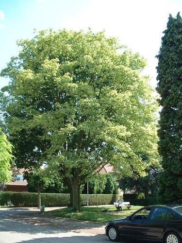 Acer pseudoplatanus f. aureovariegatum – St.- Lambrechts - Woluwe, Populierenhof –  24 Juni 2002