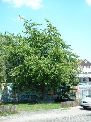 Erable argenté – Schaerbeek, Avenue de l'Héliport –  25 Juin 2002