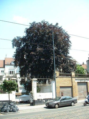 Hêtre pourpre – Schaerbeek, Rue des Palais, 154 –  25 Juin 2002