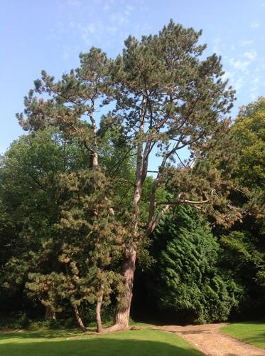 Pin noir – Auderghem, Val Duchesse –  25 Septembre 2013