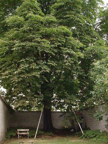 Marronnier commun – Bruxelles, Avenue de la Brabançonne, 8 –  27 Juin 2002