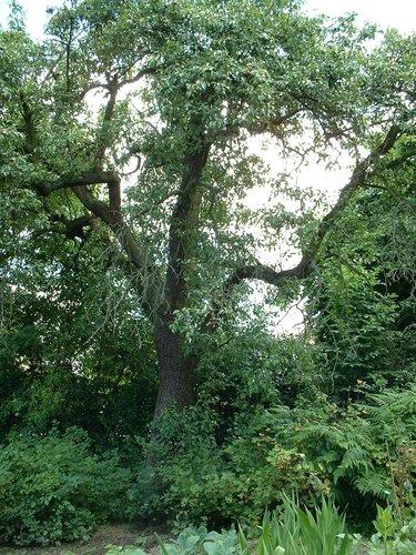 Poirier cultivé – Woluwé-Saint-Lambert, Avenue de la Chapelle, 35 –  27 Juin 2002