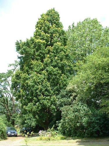 Chêne pédonculé fastigié – Woluwé-Saint-Lambert, Avenue de la Chapelle, 35 –  27 Juin 2002