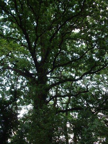 Chêne pédonculé – Woluwé-Saint-Lambert, Avenue Emmanuel Mounier –  27 Juin 2002