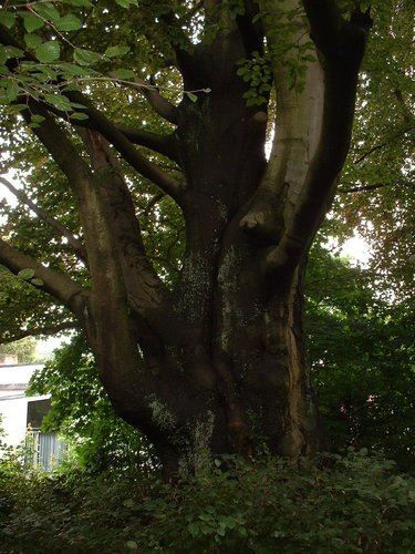 Hêtre pourpre – Watermael-Boitsfort, Avenue du Cerf-Volant, 17a –  04 Juillet 2002