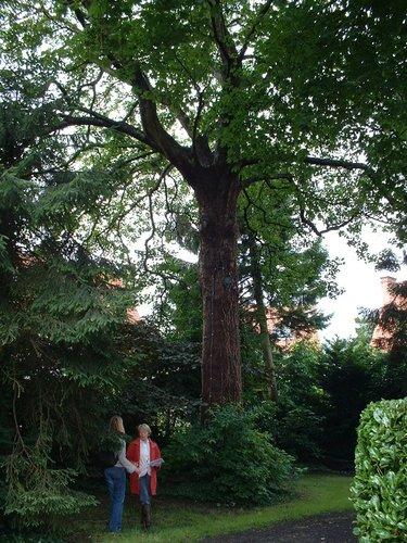 Erable sycomore – Watermael-Boitsfort, Avenue du Cerf-Volant, 17a –  04 Juillet 2002