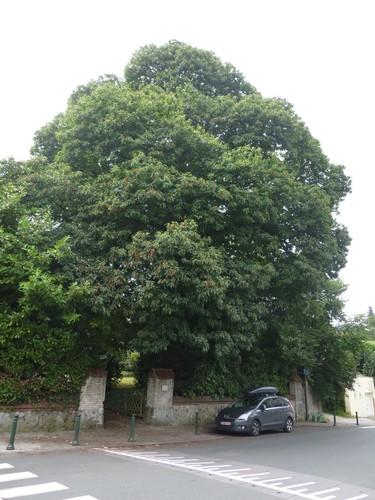 Châtaignier – Watermael-Boitsfort, Rue Théophile Vander Elst, 161 –  29 Juillet 2014