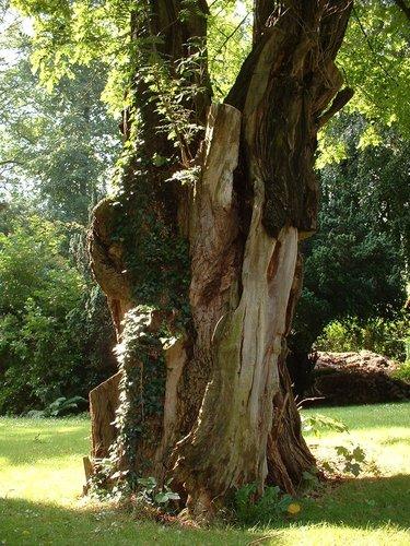 Gewone acacia – Watermaal-Bosvoorde, Léopold Wienerlaan, 87 –  04 Juli 2002