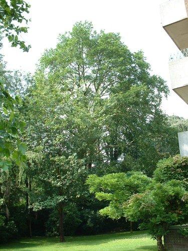 Acer platanoides f. crispum – Watermael-Boitsfort, Avenue Léopold Wiener, 87 –  04 Juillet 2002