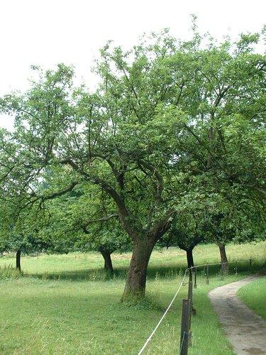 Pommier sauvage – Watermael-Boitsfort, Parc du Couvent des Religieuses de l'Eucharistie, Avenue Léopold Wiener, 26 –  04 Juillet 2002