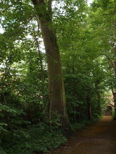 Chêne rouge d'Amérique – Watermael-Boitsfort, Parc du Couvent des Religieuses de l'Eucharistie, Avenue Léopold Wiener, 26 –  04 Juillet 2002