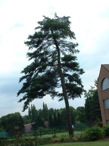 Pinus strobus – Watermaal-Bosvoorde, Park van het Klooster van de Religieuzen van de Eucharistie, Léopold Wienerlaan, 26 –  04 Juli 2002