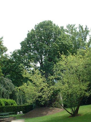 Erable champêtre – Watermael-Boitsfort, Rue du Loutrier, 63 –  04 Juillet 2002