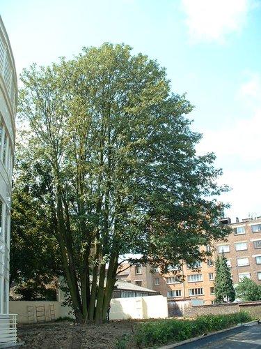 Erable sycomore – Schaerbeek, Place des Carabiniers, 19 –  08 Juillet 2002