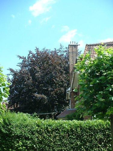 Hêtre pourpre – Schaerbeek, Avenue Ernest Cambier, 36 –  08 Juillet 2002