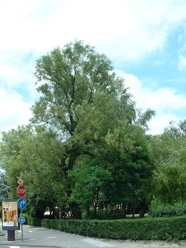 Saule pleureur – Schaerbeek, Boulevard Général Wahis –  08 Juillet 2002