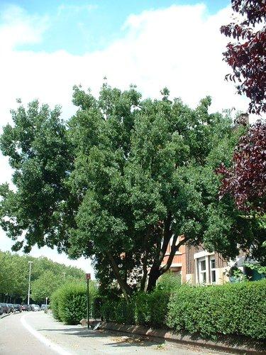 Osmanthe de Burkwood – Schaerbeek, Boulevard Lambermont, 374 –  08 Juillet 2002
