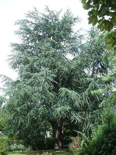 Blauwe ceder – Schaarbeek, Lambermontlaan, 364 –  08 Juli 2002