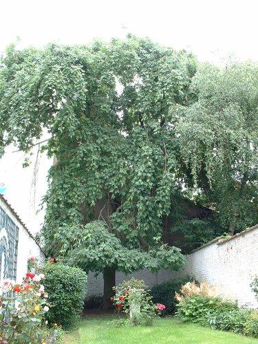 Frêne pleureur – Schaerbeek, Rue du Noyer, 298 –  05 Juillet 2002
