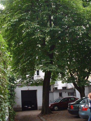 Marronnier commun – Schaerbeek, Rue Royale, 269 –  09 Juillet 2002