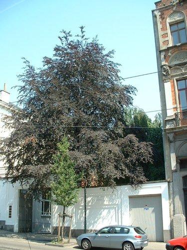 Hêtre pourpre – Schaerbeek, Avenue Rogier, 20 –  09 Juillet 2002