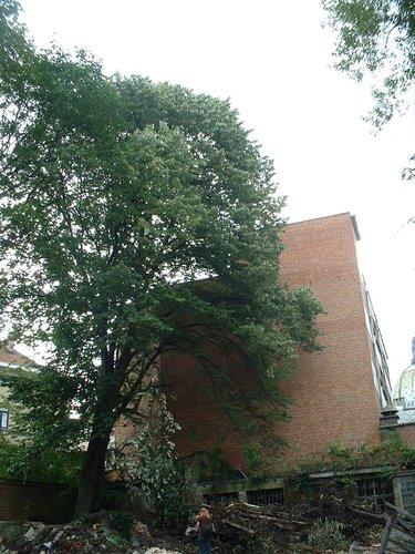 Tilleul argenté – Schaerbeek, Rue de la Poste, 147 –  09 Juillet 2002