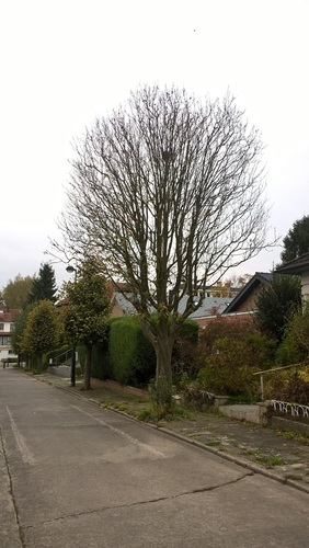 Sorbier de Thuringe – Auderghem, Rue Charles Pas, 4 –  26 Octobre 2017