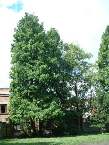 Métaséquoia – Schaerbeek, Rue Van Droogenbroeck, 53 –  11 Juillet 2002