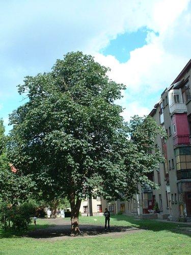 Marronnier à fleurs rouges – Schaerbeek, Rue Van Droogenbroeck, 53 –  11 Juillet 2002
