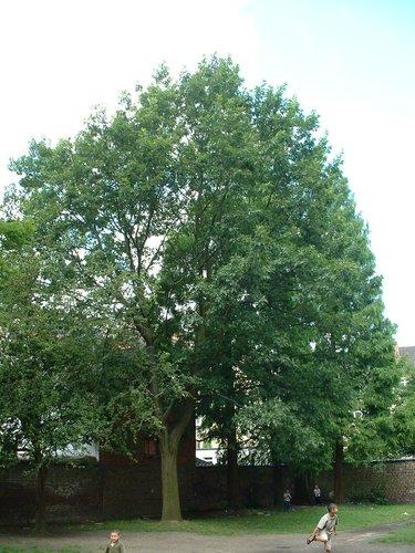 Chêne rouge d'Amérique – Schaerbeek, Rue du Tilleul, 52 –  11 Juillet 2002