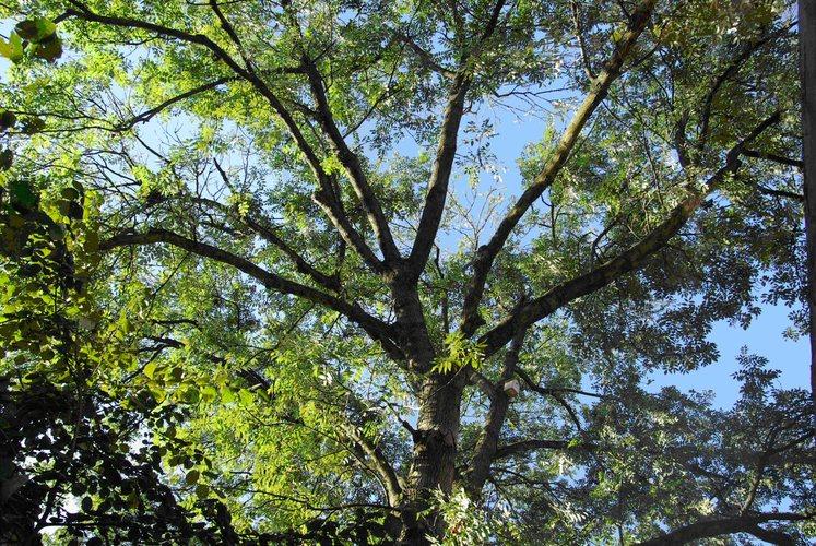 Frêne commun – Schaerbeek, Avenue Huart Hamoir, 23 –  06 Septembre 2011