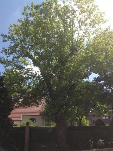 Erable à feuilles de frêne – Berchem-Sainte-Agathe, Avenue de la Basilique, 14 –  25 Juillet 2013