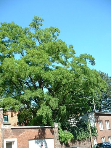Gewone acacia – Schaarbeek, Artanstraat, 117 –  16 Juli 2002