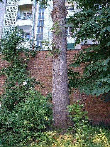 Gewone esdoorn – Schaarbeek, Artanstraat, 132 –  16 Mei 2002