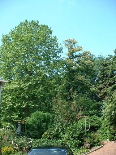 Gewone plataan – Watermaal-Bosvoorde, Winterkoninkjestraat, 16 –  17 Juli 2002