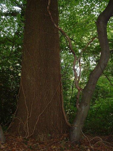 Chêne pédonculé – Watermael-Boitsfort, Parc privé de l'Institut royal des Sciences naturelles de Belgique et chemin des Chablis, Chemin des Chablis, 4 –  17 Juillet 2002