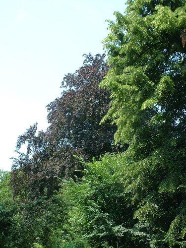 Hêtre pourpre – Watermael-Boitsfort, Chemin des Chablis, 4 –  17 Juillet 2002