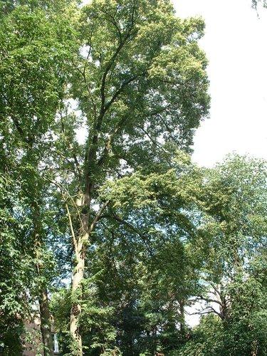 Tilleul à petites feuilles – Watermael-Boitsfort, Avenue Emile Van Becelaere, 162 –  18 Juillet 2002