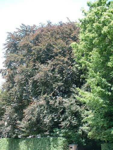 Rode beuk – Watermaal-Bosvoorde, Léopold Wienerlaan, 86 –  18 Juli 2002